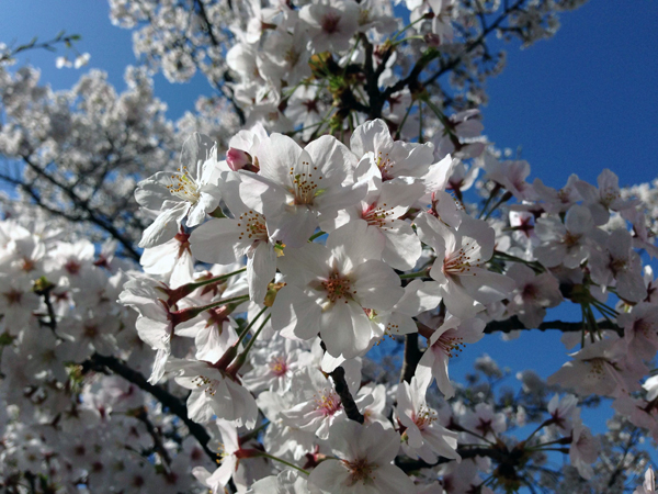 Cherry blossoms (Sakura) - a representative blossom of Japan